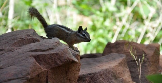 Chipmunk on Zion Canyon Weeping Rock trail